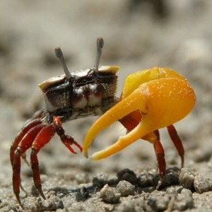 Fiddler Crab